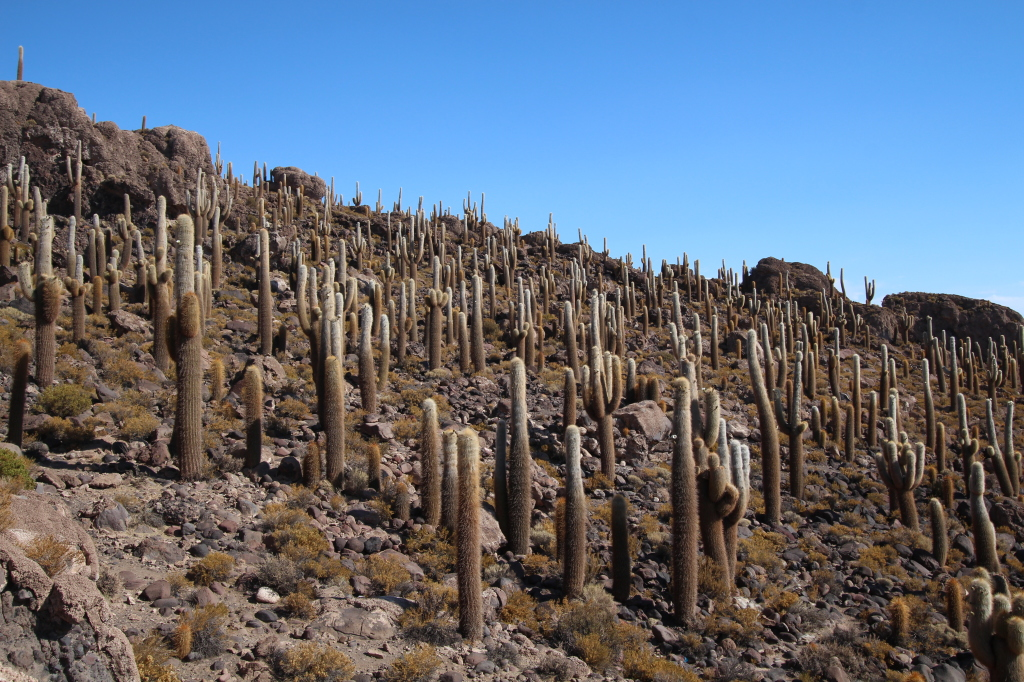 Incahuasi Island is covered in giant cacti.