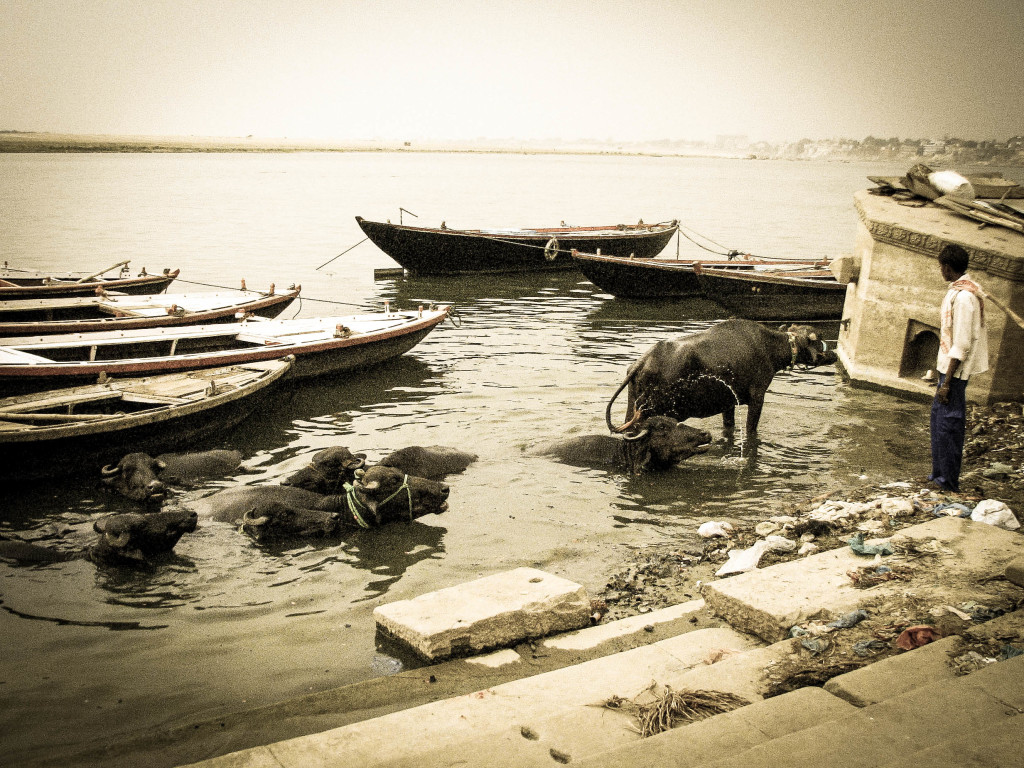 Buffalo cooling off in the Ganges. Photo by Nick Neumann